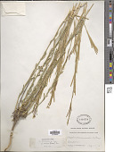 view Arabis drummondii A. Gray digital asset number 1