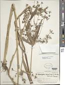 view Rhynchospora corymbosa (L.) Britton digital asset number 1