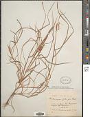 view Pseudosorghum zollingeri (Steud.) A. Camus digital asset number 1