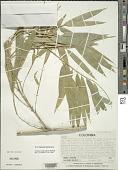 view Guadua angustifolia Kunth digital asset number 1