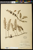 view Pleopeltis polypodioides (L.) E.G. Andrews & Windham digital asset number 1