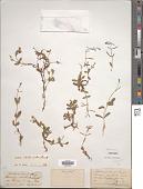view Lindernia ciliata (Colsm.) Pennell digital asset number 1