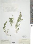 view Selaginella kraussiana (Kunze) A. Braun digital asset number 1
