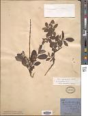 view Salix myrsinifolia Salisb. digital asset number 1