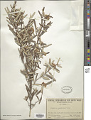 view Phebalium squamulosum Vent. digital asset number 1