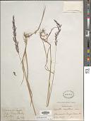 view Agrostis gigantea Roth digital asset number 1