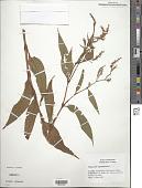 view Polygonum lapathifolium L. digital asset number 1