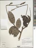 view Swartzia benthamiana Miq. var. benthamiana digital asset number 1