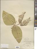 view Asclepias speciosa Torr. digital asset number 1