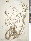 view Asclepias subulata Decne. digital asset number 1