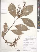 view Polyspatha paniculata Benth. digital asset number 1