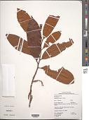 view Iryanthera hostmannii (Benth.) Warb. digital asset number 1