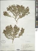 view Teucrium laciniatum Torr. digital asset number 1