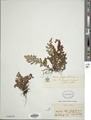 view Anemia cafforum (L.) Christenh. digital asset number 1