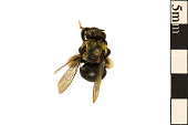 view Long-horned Bee digital asset number 1