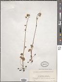 view Saxifraga granulata L. digital asset number 1