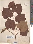 view Vitis tiliifolia Humb. & Bonpl. ex Roem. & Schult. digital asset number 1