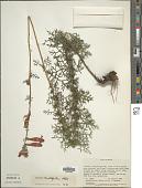 view Lamourouxia multifida Kunth digital asset number 1
