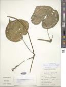 view Ipomoea parasitica (Kunth) G. Don digital asset number 1