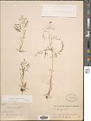 view Eragrostis soratensis Jedwabn. digital asset number 1