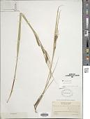 view Carex recta Boott digital asset number 1