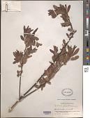 view Salix luctuosa H. Lév. digital asset number 1