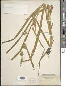 view Carex folliculata L. digital asset number 1