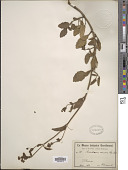 view Boerhavia caribaea Jacq. digital asset number 1