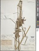 view Scirpus cyperinus (L.) Kunth digital asset number 1