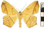 view Large Maple Spanworm Moth digital asset number 1