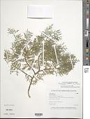 view Platycladus orientalis (L.) Franco digital asset number 1