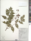 view Euscaphis japonica (Thunb.) Kanitz digital asset number 1