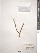 view Dendrophthora clavata (Benth.) Urb. digital asset number 1