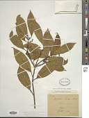 view Symplocos cochinchinensis (Lour.) S. Moore digital asset number 1