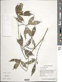 view Palicourea psittacina (Steyerm.) Delprete & J.H. Kirkbr. digital asset number 1