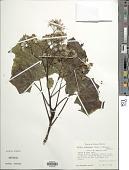 view Roldana jurgensenii (Hemsl.) H. Rob. & Brettell digital asset number 1