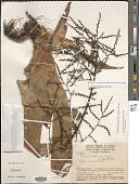 view Racinaea tenuispica (André) M.A. Spencer & L.B. Sm. digital asset number 1
