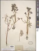 view Delphinium nuttallianum E. Pritz. ex Walpers digital asset number 1