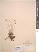 view Tofieldia pusilla (Michx.) Pers. digital asset number 1