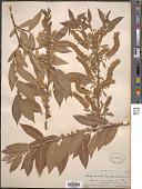 view Salix cordata x S. adenophylla Hook. digital asset number 1
