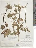view Acmella ciliata (Kunth) Cass. digital asset number 1