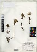 view Pedicularis albida Pennell digital asset number 1