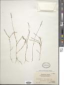 view Salomonia ciliata (L.) DC. digital asset number 1