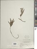 view Eriosema crinitum (Kunth) G. Don var. crinitum digital asset number 1