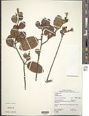 view Turnera aurantiaca Benth. digital asset number 1