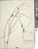 view Carex vesicaria L. digital asset number 1