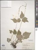 view Mitella diphylla L. digital asset number 1