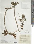 view Fuchsia fulgens DC. digital asset number 1