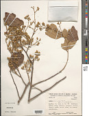 view Luehea paniculata L. digital asset number 1