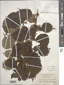 view Euptelea polyandra Siebold & Zucc. digital asset number 1